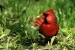 A feeding male Cardinal
