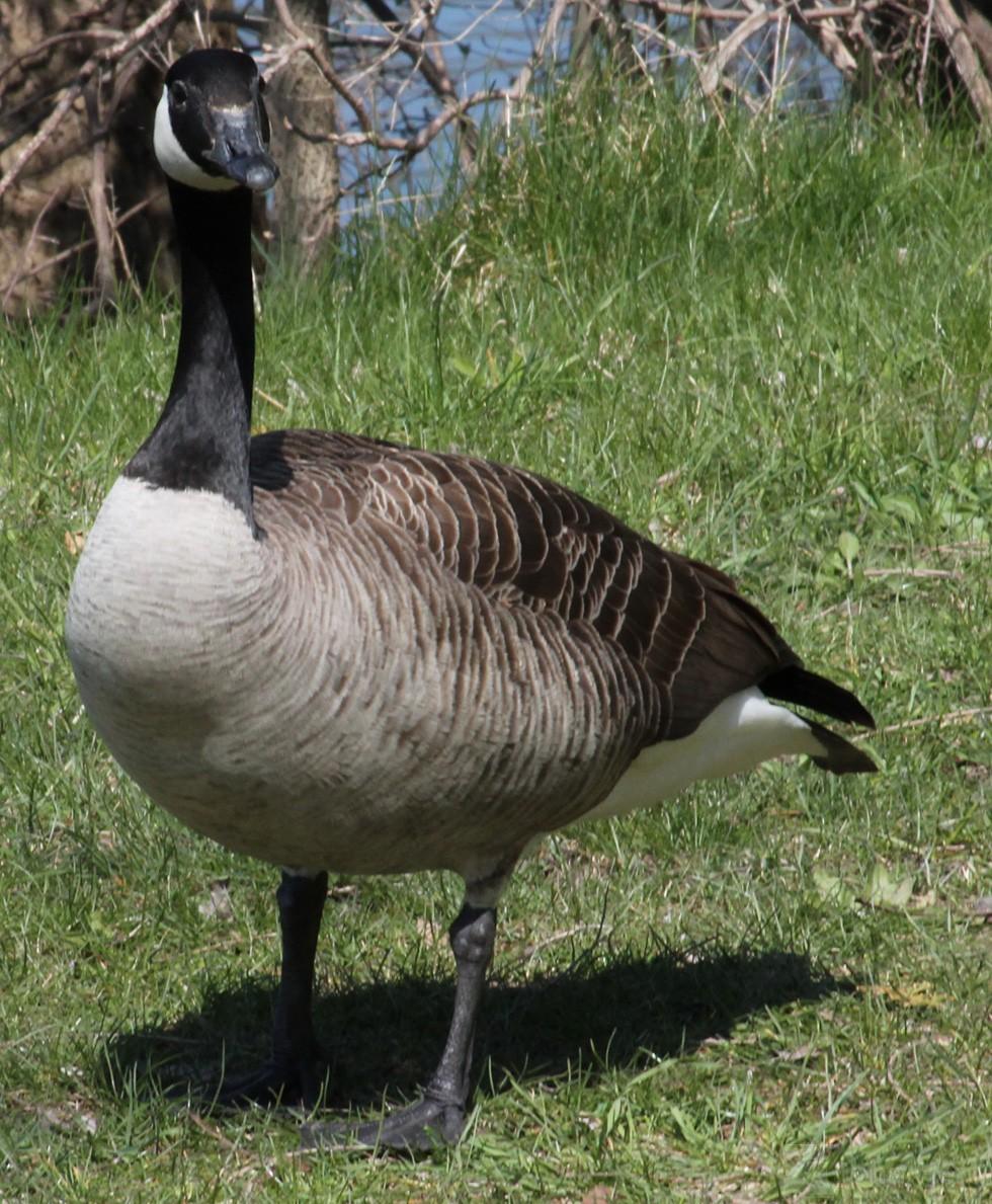how to draw a cartoon goose